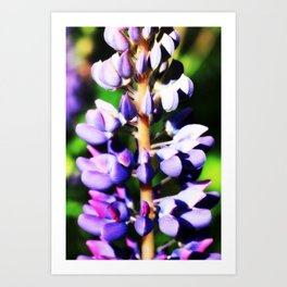Lupine close up Art Print