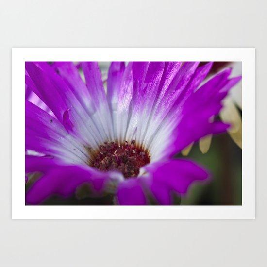 Mesembryanthemum 4 Art Print