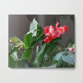Christmas Cactus Bloom Metal Print
