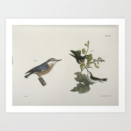 1306 87 The Red throated Hummingbird male and female (Trochilus colubris) 88 The Red bellied Nuthatch (Sitta canadensis)26 Art Print