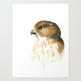 juvenile red-tailed hawk Art Print