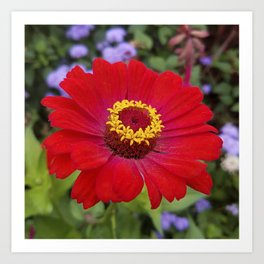 Red zinnia - blazing ring of fire Art Print
