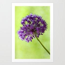 Beautiful wild garlic blossom Art Print