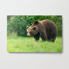 Brown bear on the search Metal Print