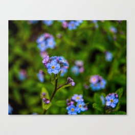 Forget-me-nots In The Rain Canvas Print