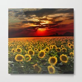 Sunflowers and Sunflower fields at sunset - Scituate, Rhode Island - Jeanpaul Ferro Metal Print
