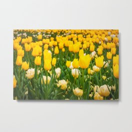Yellow and white tulips in Canberra in Spring Metal Print