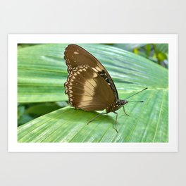 Uncommonly Beautiful Common Crow Butterfly Art Print