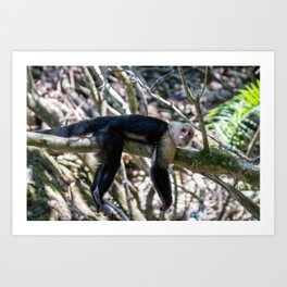 White headed capuchin monkey resting Art Print