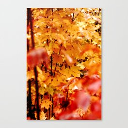 Maple tree in fire the fall Canvas Print