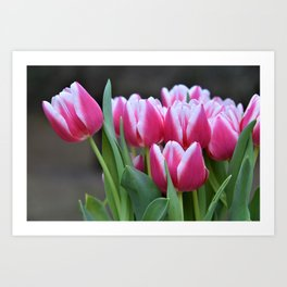 Early Spring Tulips Art Print