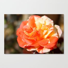 Autumn's Last Rose Canvas Print