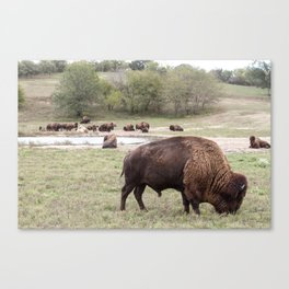 North American Wildlife - Bull Bison and Her Canvas Print