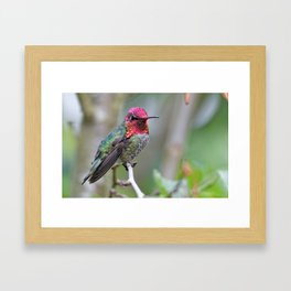 Anna's Hummingbird on the Plum Tree Framed Art Print