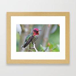 Anna's Hummingbird on the Plum Tree Framed Art Print