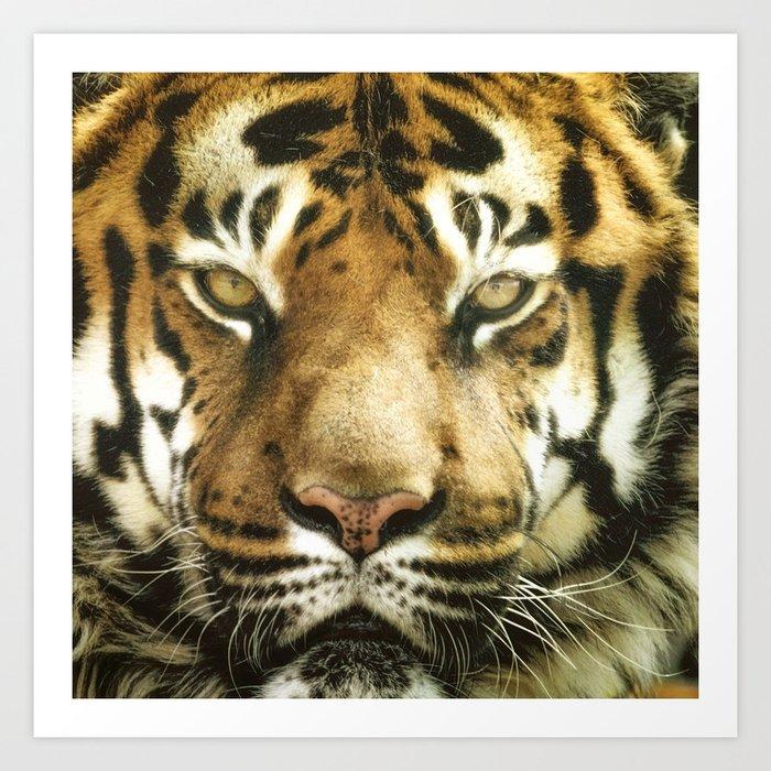 Face of Tiger Kunstdrucke