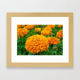 Marigolds in Spring Framed Art Print