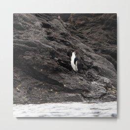 Galapagos Penguin Metal Print