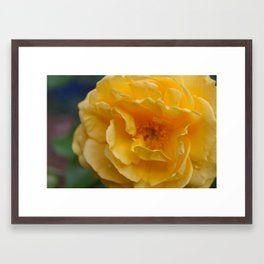 Yellow Rose Framed Art Print