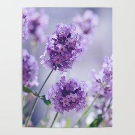 lavender Purple Poster