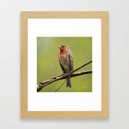 House Finch in the Rain Framed Art Print