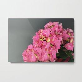 Pink flowers (Hydrangea) Metal Print