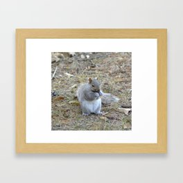 Gray Squirrel Munching on Pine Cones Framed Art Print