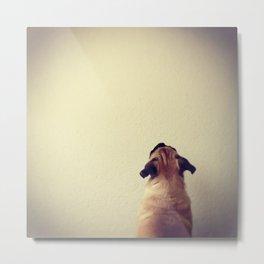 Pug staring up the wall Metal Print