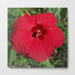 Hibiscus 'Fireball' - regal red star of my late summer garden Metal Print
