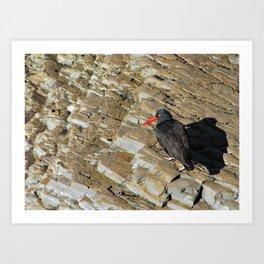 Black Oystercatcher in Cali Art Print