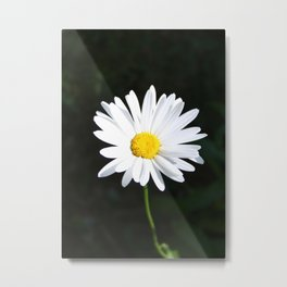 Sunlit Shasta Daisy Metal Print