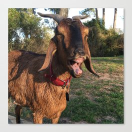 Happy Wet Goat Canvas Print