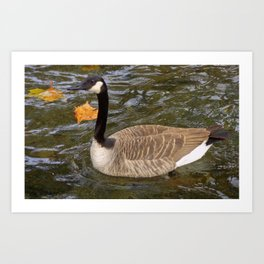 Canada Goose Swimming Art Print