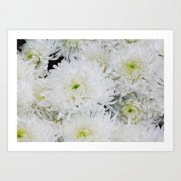 White Chrysanthemum Flowering Herb Art Print