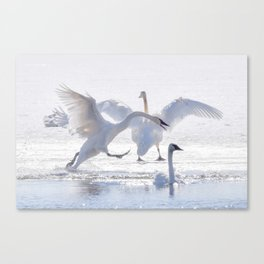 Trumpeter Swan Drama Canvas Print