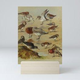 Vintage Print - Sanderlings, Sandpipers Dunlins, & Stints, from Thorburn's British Birds (1915) Mini Art Print