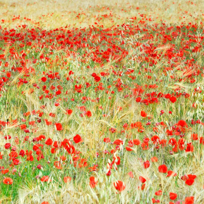Windy poppies. Spring fields Comforters