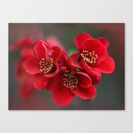Red Chaenomeles flowers Canvas Print