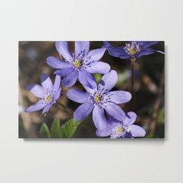 Purple spring flowers Metal Print