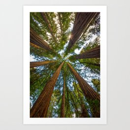 Redwood Forest Canopy Art Print