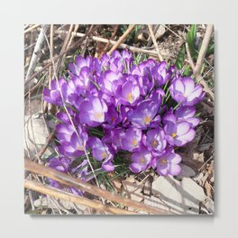 Watercolor Flower, Purple Crocus 01, Washington D.C., Spring Delights! Metal Print