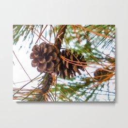 Pine Cone on a Pine Tree Metal Print