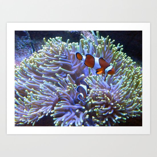 Australian Clownfish Art Print
