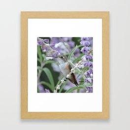 Ms. Hummingbird's Break Time in Mexican Sage Framed Art Print