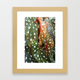 The Polka Dot Leaves of Begonia Wightii Framed Art Print