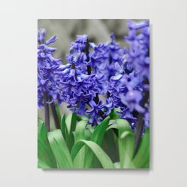 Blue Hyacinth Metal Print