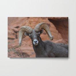 Desert Bighorn, Valley of Fire - IV Metal Print