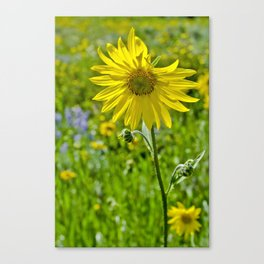 Wild sunflower Canvas Print
