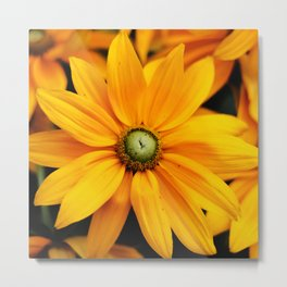 Close up of yellow and orange Daisy flower head in summer Metal Print
