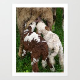 Twin Lambs Suckling From Their Mother Art Print